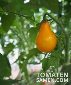 1951_1_Orange_Pear
